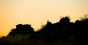Pale chanting goshawk (Melierax canorus) silhouetted on rock at sunset. Karoo, South Africa.  -  Klein & Hubert
