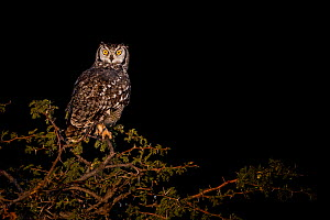 Spotted eagle-owl (Bubo africanus) sitting on Camel thorn (Acacia erioloba) at night, Kalahari, South Africa.  -  Klein & Hubert