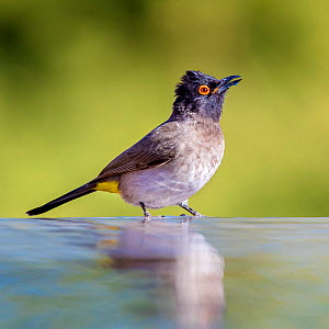 African red-eyed bulbul (Pycnonotus nigricans)  drinking at waterhole, Kalahari, South Africa. - Klein & Hubert