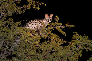 Common or Small-spotted genet (Genetta genetta) at night in Camel thorn (Vachellia erioloba) Kalahari Desert, South Africa.  -  Klein & Hubert