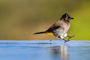 African red-eyed bulbul (Pycnonotus nigricans) jumping while bathing at water hole Kalahari Desert, South Africa. - Klein & Hubert