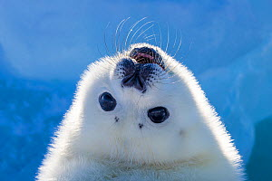 Harp seal (Pagophilus groenlandicus) pup looking up to see behind it,  Gulf of St. Lawrence, Canada  -  Klein & Hubert