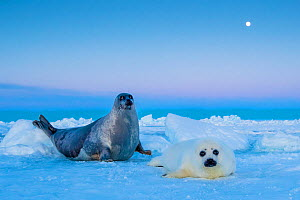 Harp seal (Pagophilus groenlandicus) female with pup at sunset, Gulf of St. Lawrence, Canada - Klein & Hubert