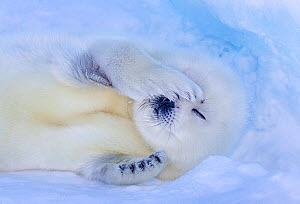 Harp seal (Pagophilus groenlandicus) pup rubbing eyes, Gulf of St. Lawrence, Canada - Klein & Hubert