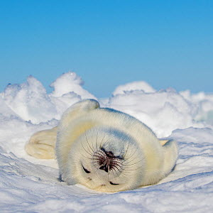 Harp seal (Pagophilus groenlandicus) pup sleeping on ice, Gulf of St. Lawrence, Canada  -  Klein & Hubert