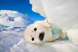 Harp seal (Pagophilus groenlandicus) pup on ice, Gulf of St. Lawrence, Canada  -  Klein & Hubert