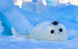 Harp seal (Pagophilus groenlandicus) pup on rolling over on ice, Gulf of St. Lawrence, Canada - Klein & Hubert