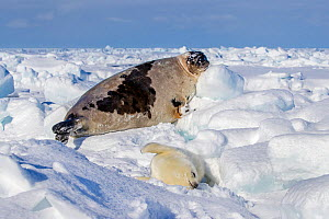 Harp seal (Pagophilus groenlandicus) pup on ice with mother behind, Gulf of St. Lawrence, Canada - Klein & Hubert