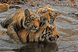 Bengal tiger (Panthera tigris) female 'T19 Krishna' having an affectionate moment with her juvenile cubs in water. Ranthambhore, India. Medium repro only - Andy Rouse