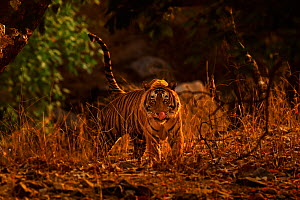 Bengal tiger (Panthera tigris) male T57 walking in dusk light, Ranthambhore, India - Andy Rouse