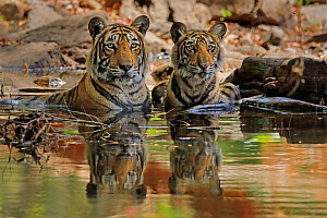 Bengal tiger (Panthera tigris) female 'T19 Krishna' with juvenile in water, Ranthambhore, India  -  Andy Rouse