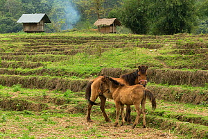 Rare domestic Hmong horses, colt and mares standing alert in dry rice field, Xieng Khuang, Laos.  -  Kristel  Richard