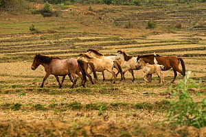 Band of rare semi-wild Hmong horses running in dry rice field, Xieng Khuang, Laos.  -  Kristel  Richard