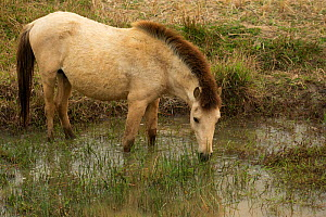 Rare semi-wild Hmong horse, stallion, drinking in a rice field, Xieng Khuang, Laos.  -  Kristel  Richard