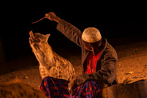 Man feeding wild Spotted hyenas (Crocuta crocuta) at night in City of Harar. This is a centuries old tradition. Ethiopia. February 2008.  -  Francisco Marquez