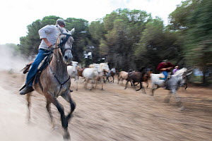 Round up of mares and foals, Donana National Park, Spain. September 2014. - Francisco Marquez