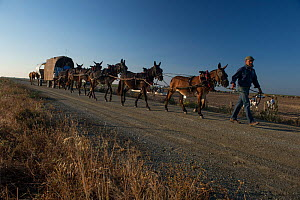 Carts carrying food, drink and beds to the fields where the horsemen work, rounding up mares and foals. Donana National Park, Spain. June 2014.  -  Francisco Marquez