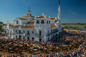 Herd of horses driven to the hermitage of El Rocio to be blessed.  Coto Donana, Spain. June 2014. - Francisco Marquez