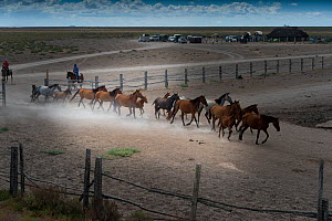 Mares and foals rounded up into corral. During the annual round up of mares and foals. Donana National Park, Spain.. September 2014. - Francisco Marquez