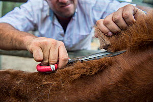 Man cutting foal's mane. During the round up of mares and foals are caught into corrals where each yeguero (owner of the mares) identifies their animals, separates the foals from their mothers, worm t... - Francisco Marquez