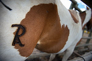 Close up of branded mark on horse. Mares and foals are caught into  corrals where each yeguero (owner of the mares) identifies their animals, separates the foals from their mothers, worm them, cut the... - Francisco Marquez