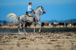 Man on horseback during the round up of mares and foals from marshland to the corrals of the town.  Donana National Park, Spain. September 2014. - Francisco Marquez