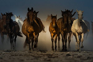 Round up of  mares and foals from marshland to the corrals of the town.  Donana National Park, Spain. September 2014. - Francisco Marquez