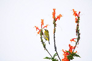 Cape white-eye (Zosterops capensis) perched on Cape honeysuckle (Tecoma capensis) Garden Route National Park, Western Cape Province, South Africa. - Richard Du Toit