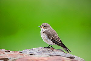 Spotted Flycatcher (Muscicapa striata) Mountain Zebra National Park, Eastern Cape Province, South Africa.  -  Richard Du Toit