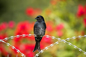 Forktailed drongo (Dicrurus adsimilis) perched on razor wire, Garden Route National Park, Western Cape Province, South Africa.  -  Richard Du Toit