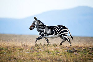 Mountain Zebra (Equus zebra) Mountain Zebra National Park, South Africa.  -  Richard Du Toit