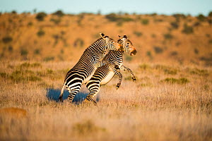Mountain zebra (Equus zebra) stallions fighting, Mountain Zebra National Park, South Africa.  -  Richard Du Toit