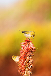 Cape white-eyes (Zosterops capensis) feeding on flowers, Garden Route, Western Cape Province,South Africa.  -  Richard Du Toit