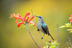 Grey sunbird (Cyanomitra veroxii) feeding on Cape honeysuckle (Tecoma capensis) Western Cape Province, South Africa. - Richard Du Toit