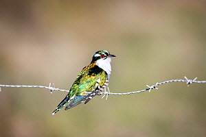Dideric cuckoo (Chrysococcyx caprius) perched on fence, Overberg, Western Cape Province, South Africa.  -  Richard Du Toit