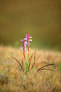 Flower (Watsonia densiflora) Free State Province; Golden Gate National Park; South Africa; - Richard Du Toit