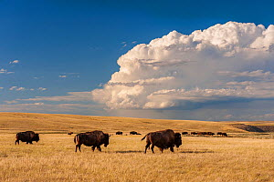 American buffalo / Bison (Bison bison) herd in Fort Peck Assiniboine & Sioux Reservation, in Northeastern Montana, USA, July.  -  Jack Dykinga