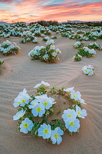 Birdcage evening primrose (Oenothera deltoides) flowering in the sand dune flats near Joshua Tree National Park, California, USA, March.  -  Jack Dykinga