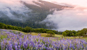 Bald Hills in morning coastal fog engulfing oak trees and fields of Lupins at dawn. Redwood State and National Park, California, USA, May 2018. - Jack Dykinga