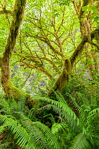 Big leaf maple (Acer macrophyllum) draped in moss and surrounded by lush forest understory of sword ferns (Polystichum munitum) Prairie Creek Redwoods State and National Park, California.  -  Jack Dykinga