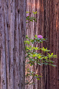 Redwood tree (Sequoia sempervirens) with flowering rhododenron Jedediah Smith Redwoods State Park, California, USA, June.  -  Jack Dykinga