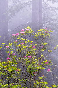 Giant redwood (Sequoia sempervirens) with flowering rhododenron in early morning fog. Del Norte Redwood National Park, California.  -  Jack Dykinga