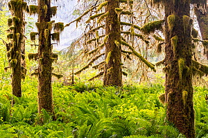 Hoh Rain Forest with moss covered Sitka spruce (Picea sitchenis) trees in morning fog. Olympic National Park, Washington, USA, June.  -  Jack Dykinga