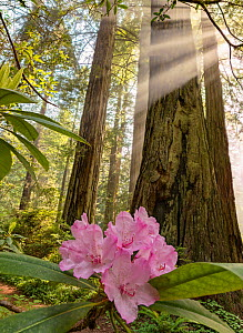 Redwood (Sequoia sempervirens) tree trunk with flowering Rhododenron in early morning fog with rays of sunlight in the forest canopy. Del Norte Redwood National Park, California.  -  Jack Dykinga