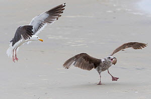 Herring gulls (Larus argentatus) squabbling over clams. The birds drop the clams from height to open them, but this can allow another bird to steal it. Coronado Island, San Diego, California. USA, May...  -  Jack Dykinga