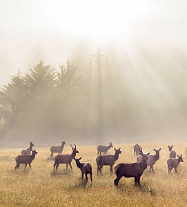 Roosevelt elk (Cervus canadensis roosevelti) in a meadow beneath redwood trees, Del Norte Redwoods National Park, California, USA. June - Jack Dykinga