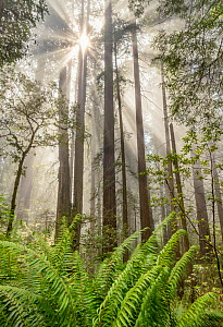 Coast redwood (Sequoia sempervirens) with foggy dawn light. creating rays in the forest canopy. Del Norte Redwood National Park, California, USA. June.  -  Jack Dykinga