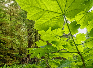 Giant leaves of Devil's Club (Oplopanax horridus) Olympic National Park, Washington, USA, June.  -  Jack Dykinga