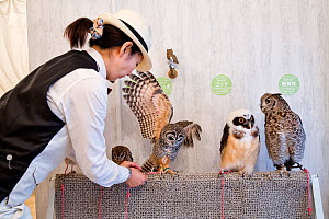 Worker at the owl cafe securing one of the owls at the Akiba Fukurou Owl Cafe in Tokyo, Japan. - Karine Aigner