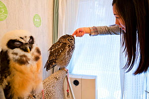 Tourist stroking a Spotted eagle owl (Bubo africanus) one of the owls at the Akiba Fukurou Owl Cafe in Tokyo, Japan.  -  Karine Aigner